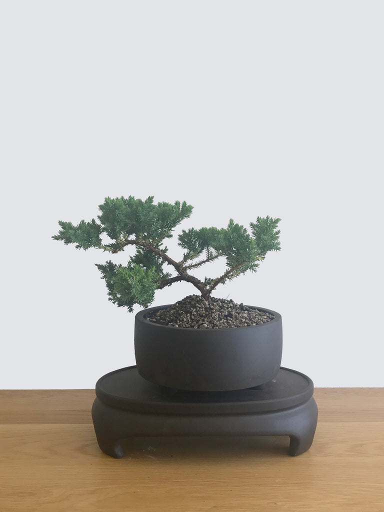 JAPANESE JUNIPER (JP12054) - MiniGardens NZ