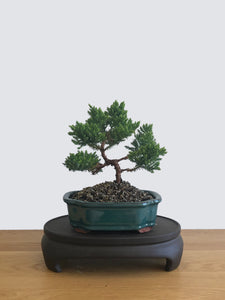 JAPANESE JUNIPER (JP12059) - MiniGardens NZ