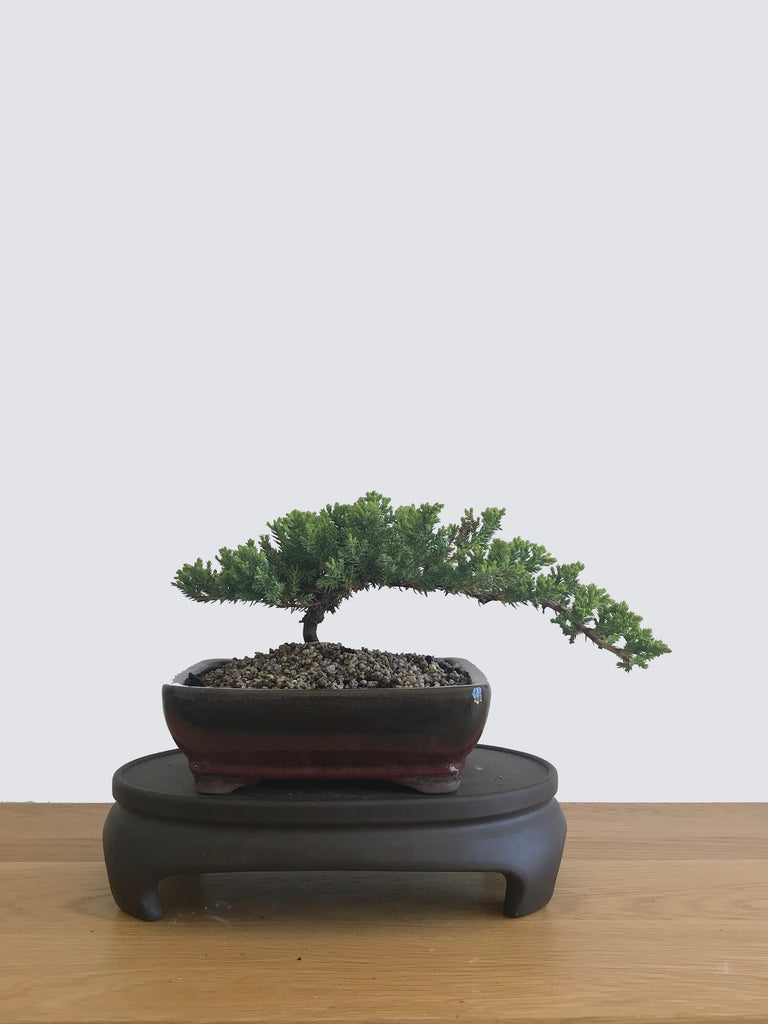 JAPANESE JUNIPER (JP12063) - MiniGardens NZ