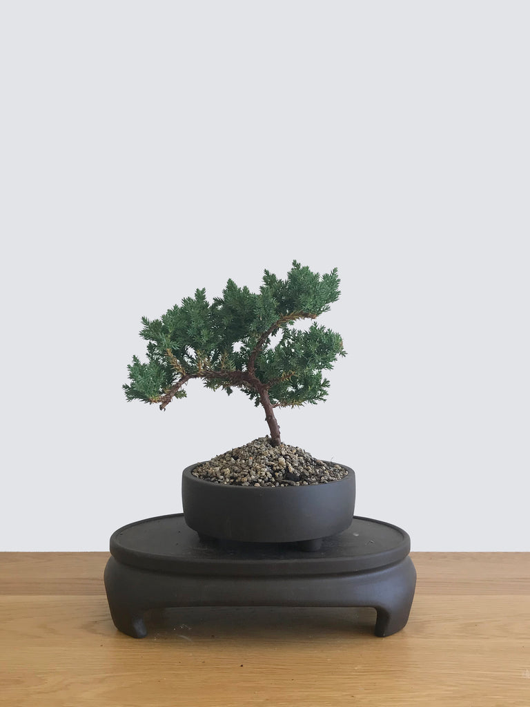 JAPANESE JUNIPER (JP12065) - MiniGardens NZ