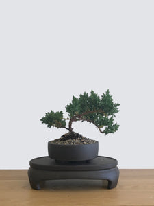JAPANESE JUNIPER (JP12072) - MiniGardens NZ