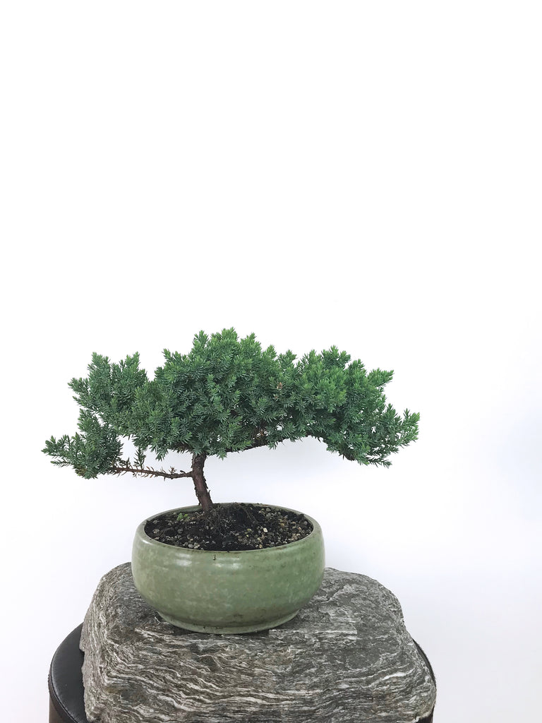 JAPANESE JUNIPER (1801033) - MiniGardens NZ