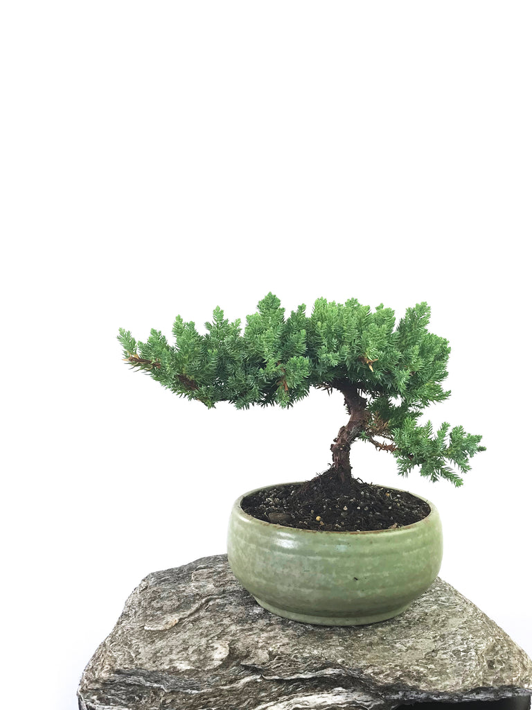 JAPANESE JUNIPER (1801046) - MiniGardens NZ
