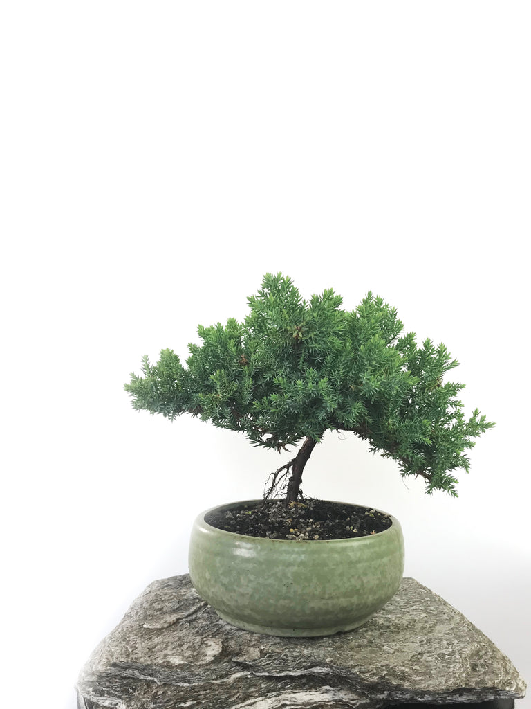 JAPANESE JUNIPER (1801047) - MiniGardens NZ