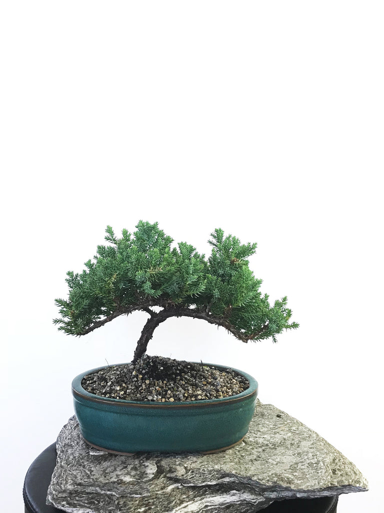 JAPANESE JUNIPER (1803074) - MiniGardens NZ