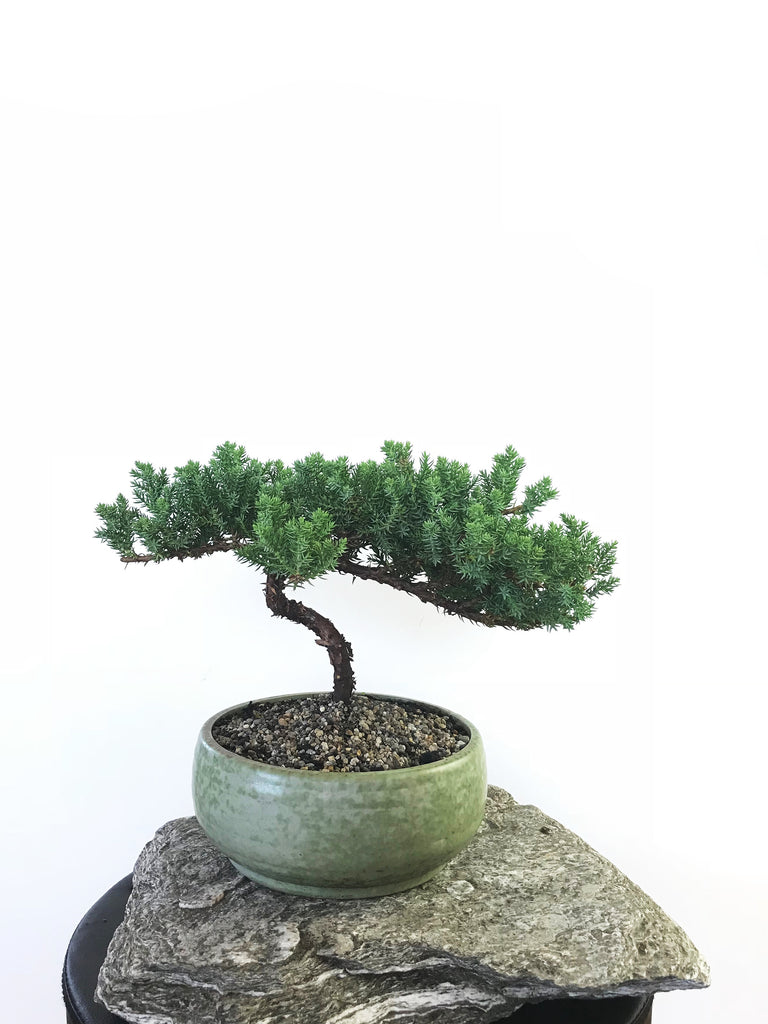 JAPANESE JUNIPER (1803075) - MiniGardens NZ