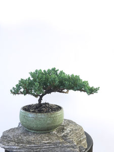 JAPANESE JUNIPER (1803096) - MiniGardens NZ