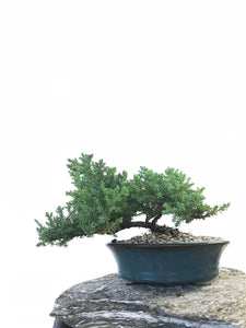 JAPANESE JUNIPER (1803104) - MiniGardens NZ