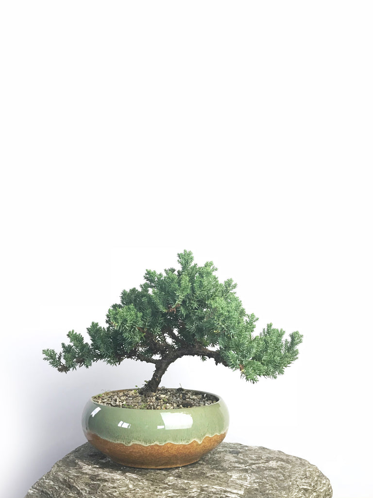 JAPANESE JUNIPER (1804114) - MiniGardens NZ