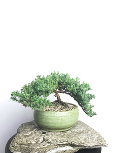 JAPANESE JUNIPER (1804123) - MiniGardens NZ