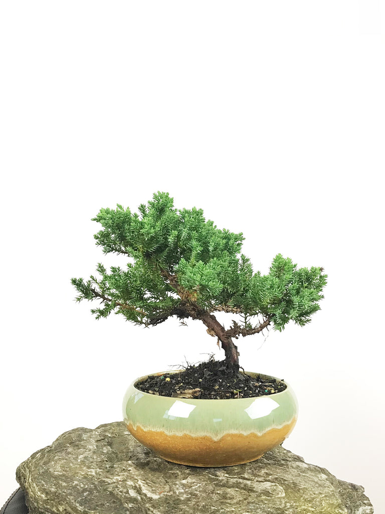 JAPANESE JUNIPER (1806135) - MiniGardens NZ