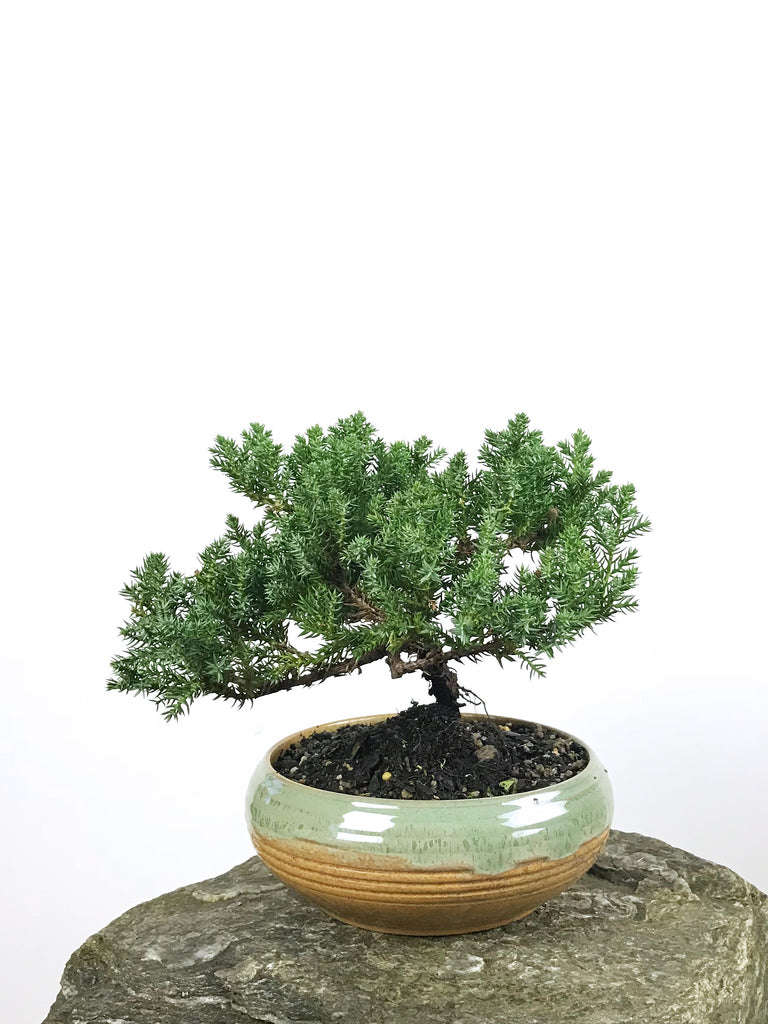 JAPANESE JUNIPER (1806137) - MiniGardens NZ