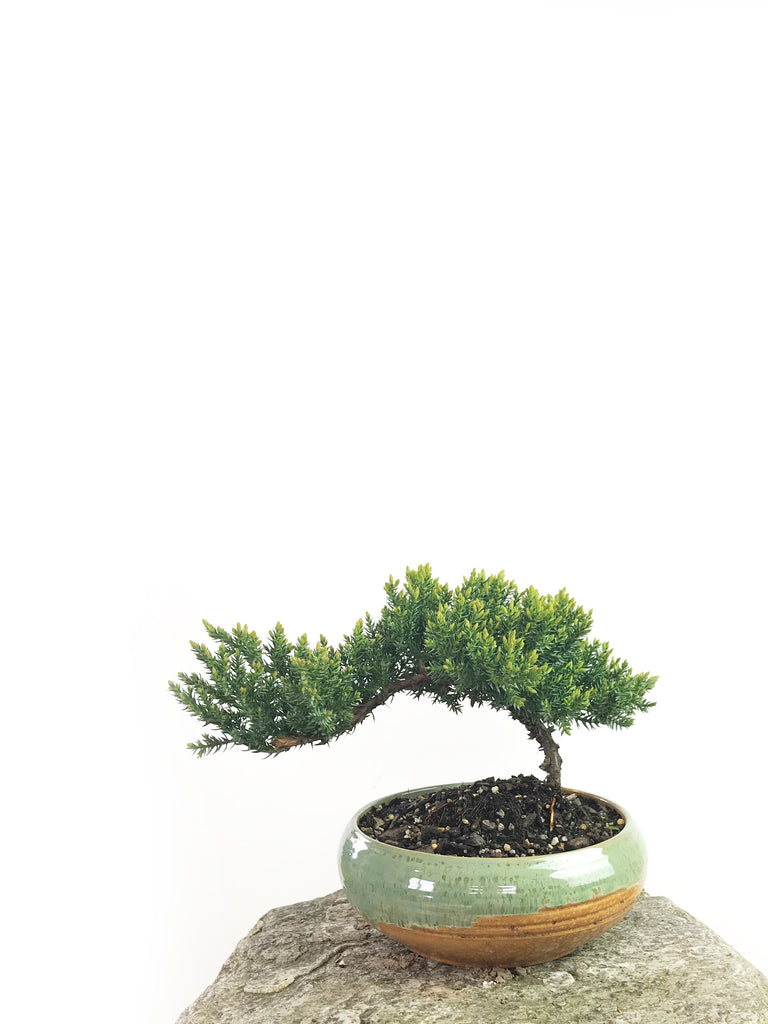JAPANESE JUNIPER (1808180) - MiniGardens NZ