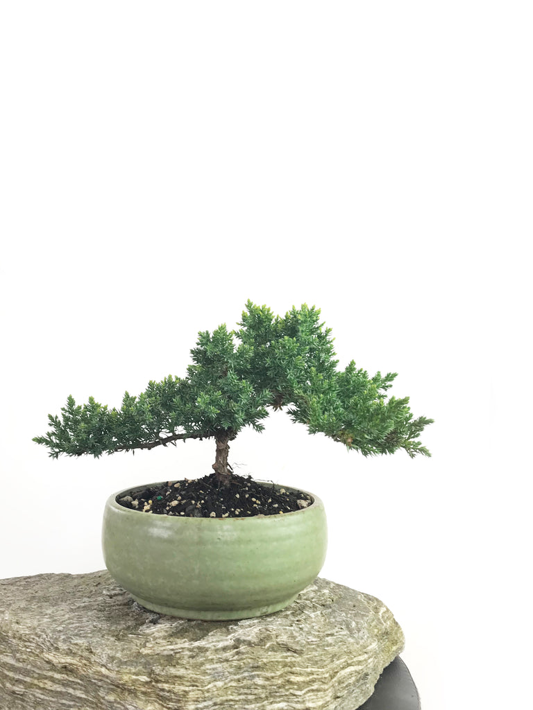 JAPANESE JUNIPER (1808187) - MiniGardens NZ