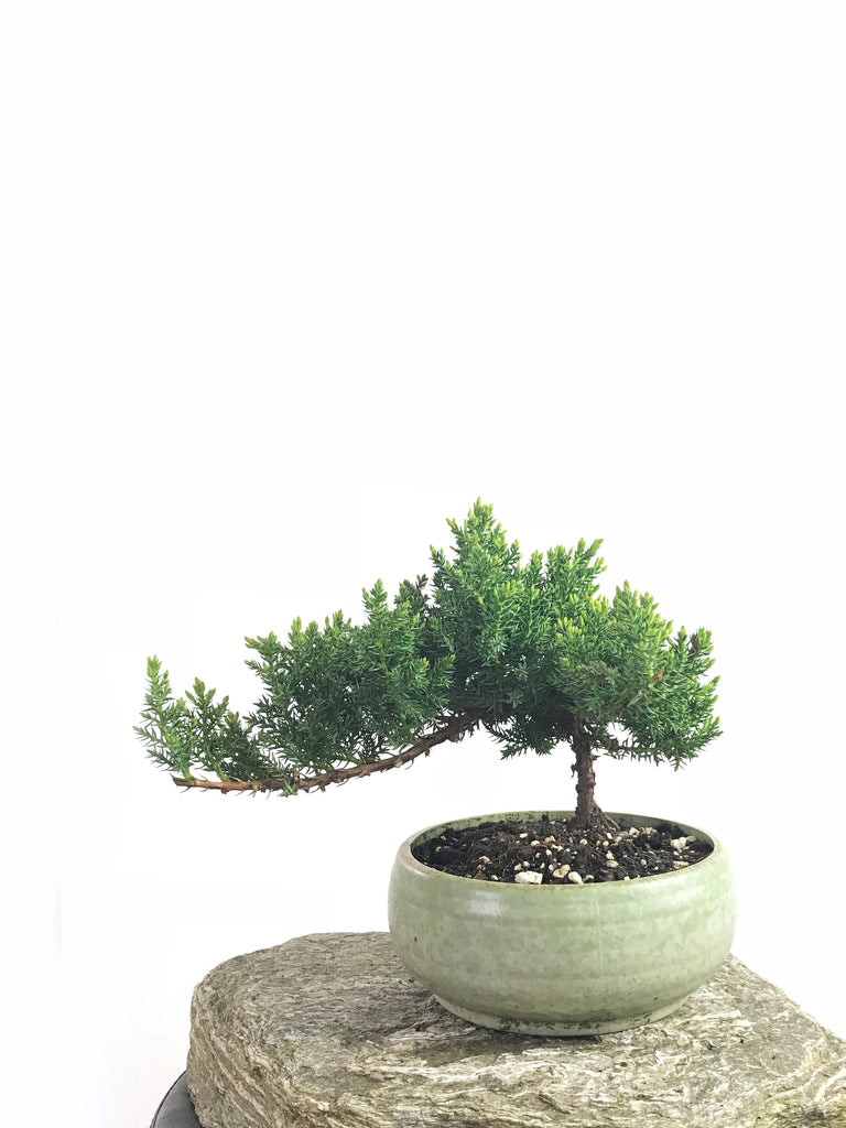 JAPANESE JUNIPER (1808192) - MiniGardens NZ
