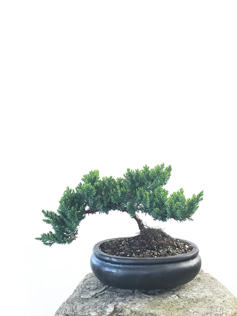 JAPANESE JUNIPER (JP1809200) - MiniGardens NZ