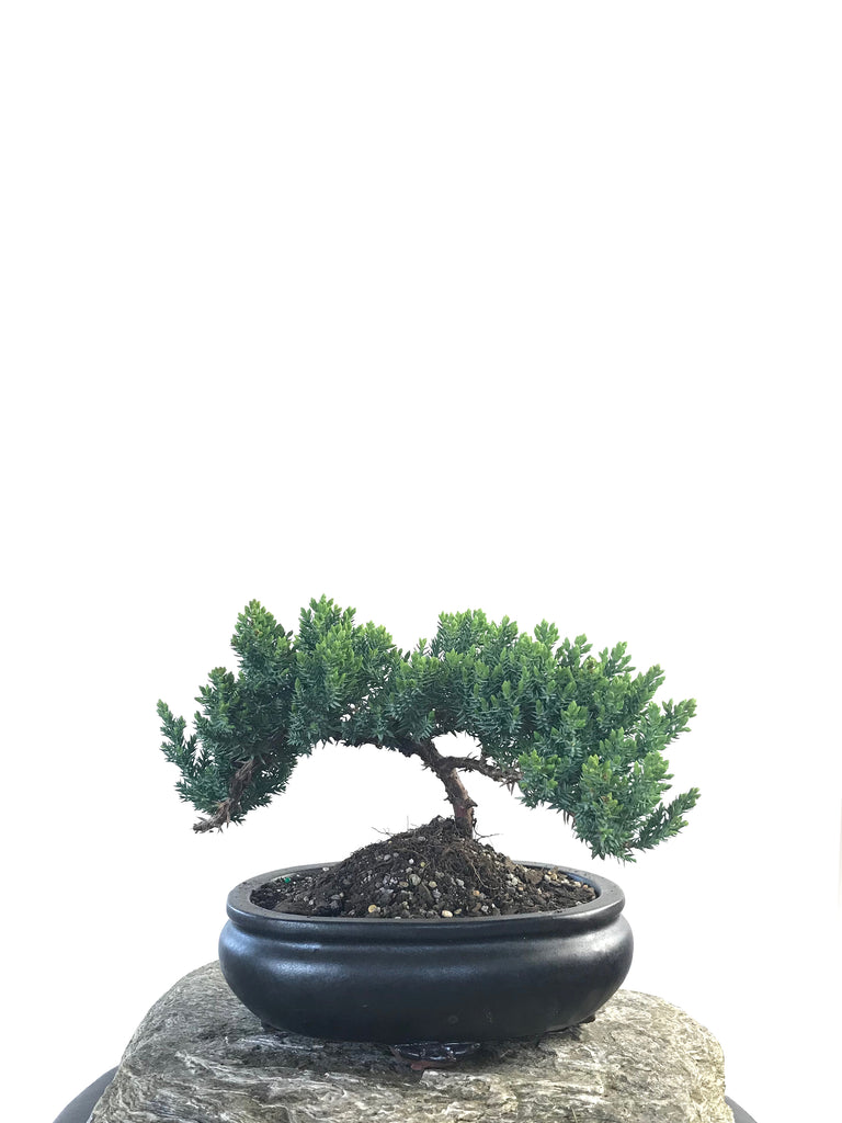 JAPANESE JUNIPER (JP1809201) - MiniGardens NZ