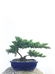 JAPANESE JUNIPER (JP1809205) - MiniGardens NZ