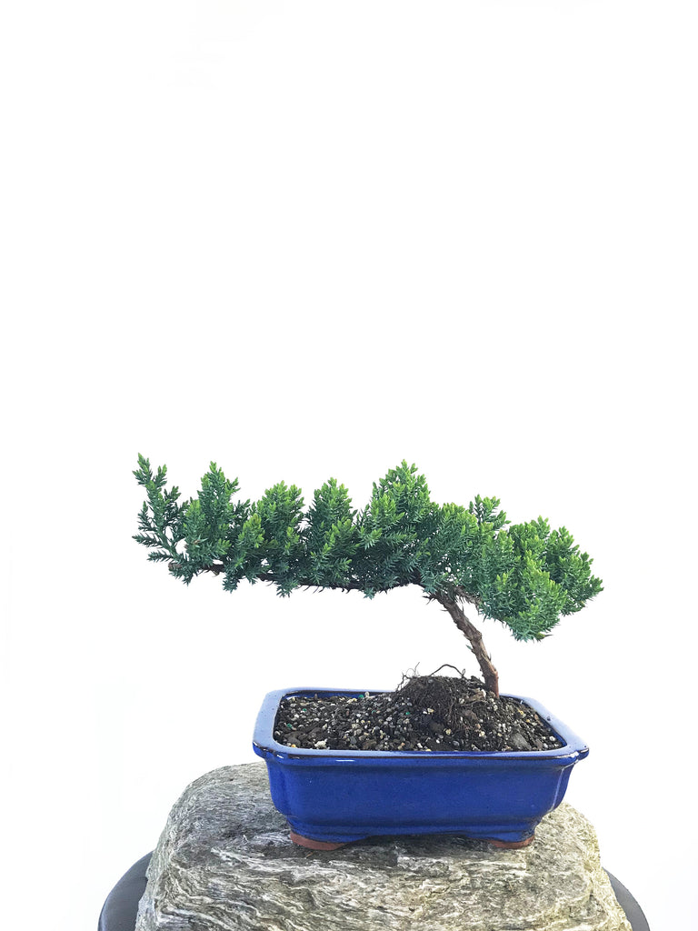 JAPANESE JUNIPER (JP1809208) - MiniGardens NZ