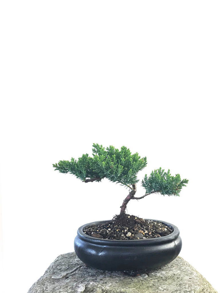 JAPANESE JUNIPER (JP1809209) - MiniGardens NZ
