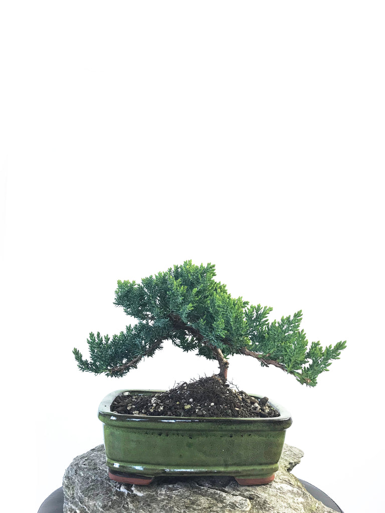 JAPANESE JUNIPER (JP1809216) - MiniGardens NZ