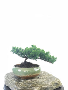 JAPANESE JUNIPER (JP1809238) - MiniGardens NZ