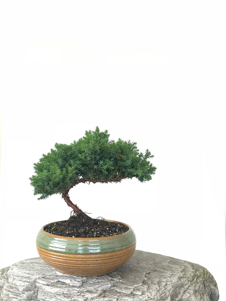 JAPANESE JUNIPER (JP1809258) - MiniGardens NZ