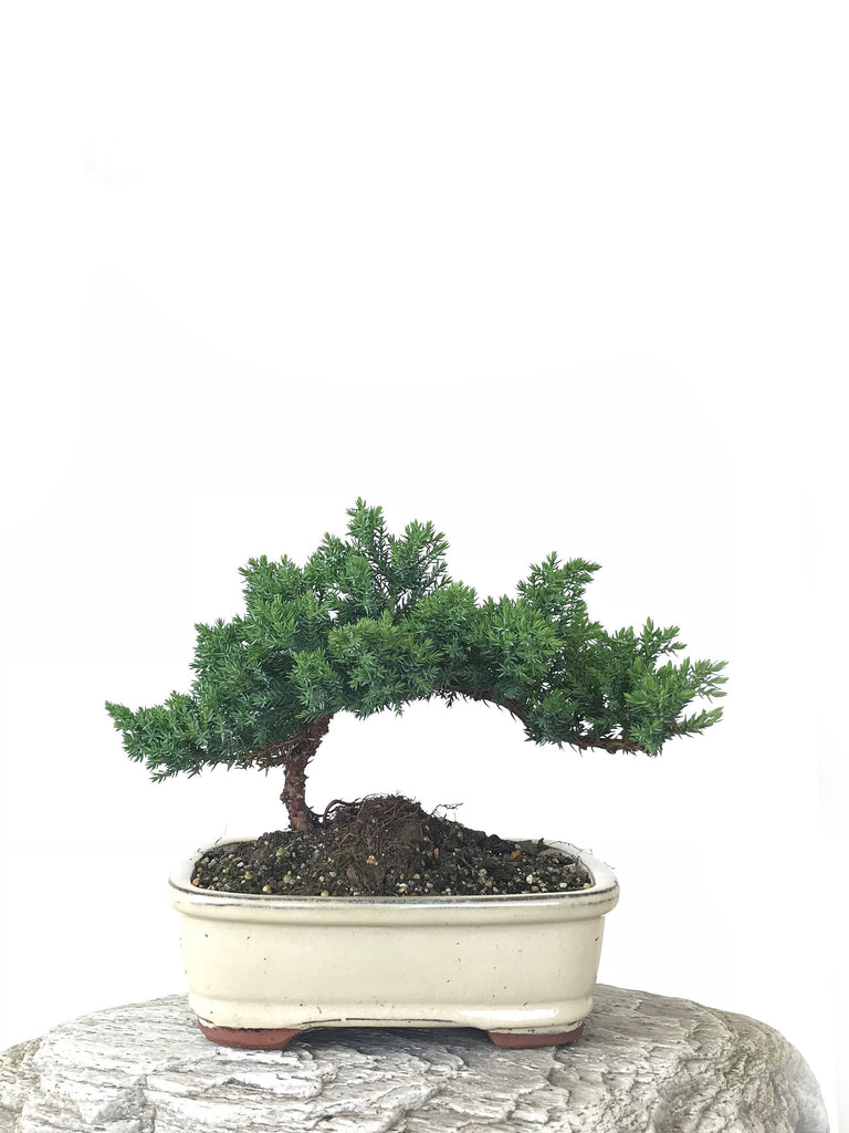 JAPANESE JUNIPER (JP1809262) - MiniGardens NZ