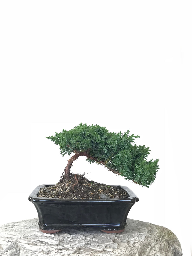 JAPANESE JUNIPER (JP1809263) - MiniGardens NZ