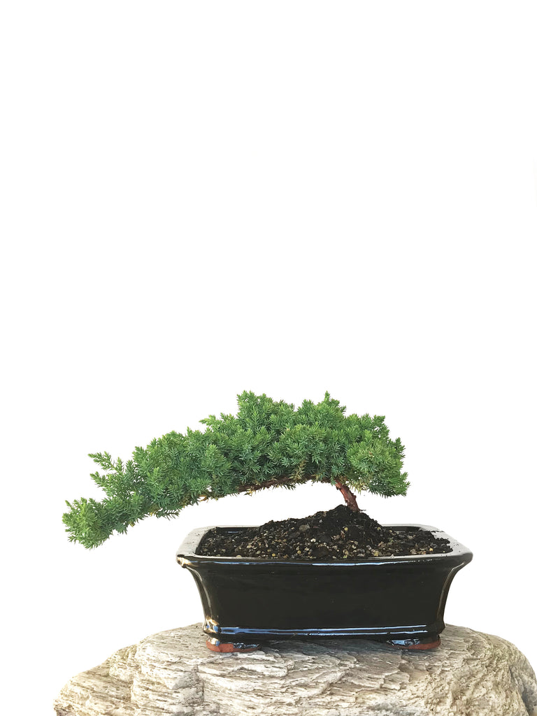 JAPANESE JUNIPER (JP1809282) - MiniGardens NZ