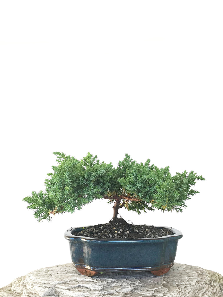 JAPANESE JUNIPER (JP1809291) - MiniGardens NZ