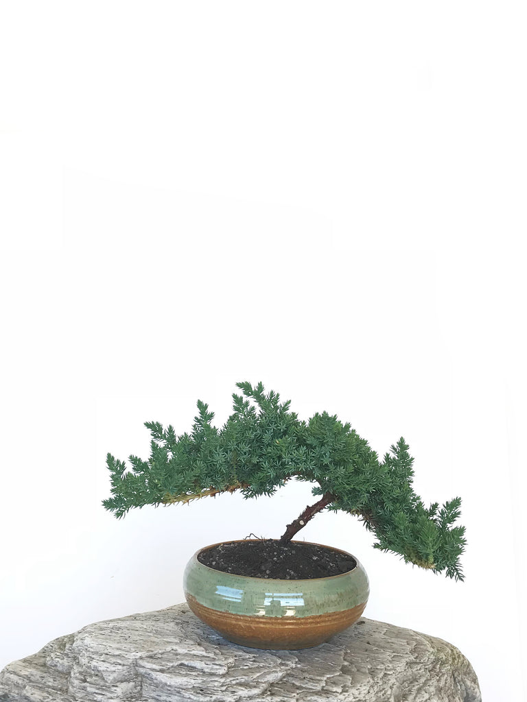 JAPANESE JUNIPER (JP1809297) - MiniGardens NZ
