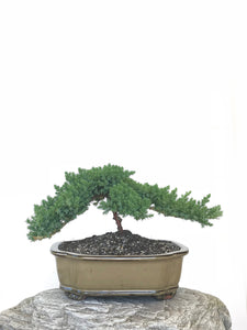JAPANESE JUNIPER (JP1809301) - MiniGardens NZ