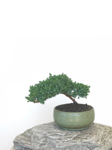 JAPANESE JUNIPER (JP1809304) - MiniGardens NZ