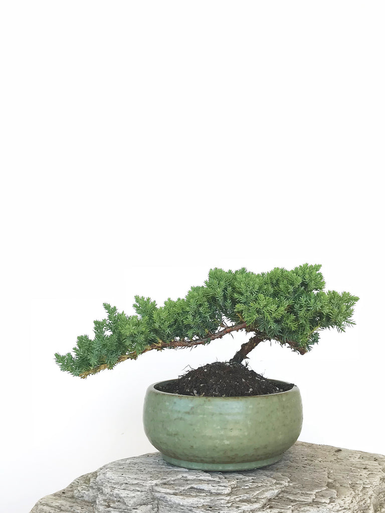 JAPANESE JUNIPER (JP1809307) - MiniGardens NZ