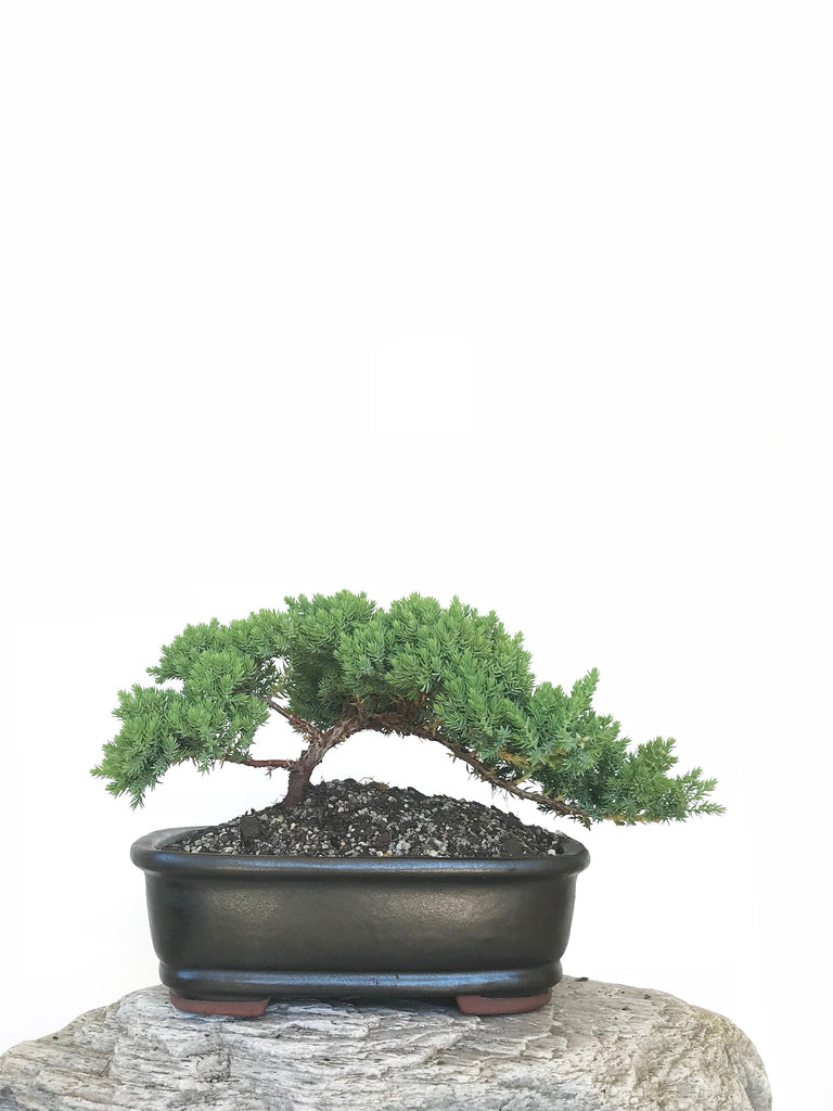 JAPANESE JUNIPER (JP1809313) - MiniGardens NZ