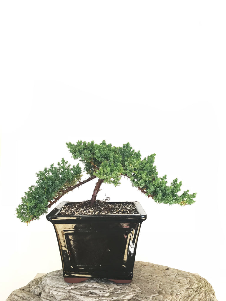JAPANESE JUNIPER (JP1901320) - MiniGardens NZ