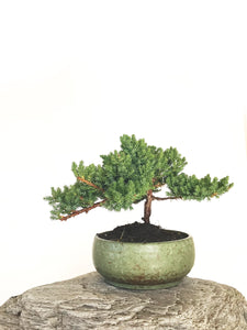 JAPANESE JUNIPER (JP1901330) - MiniGardens NZ