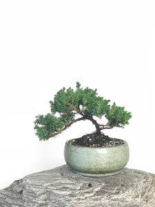 JAPANESE JUNIPER (JP1901331) - MiniGardens NZ