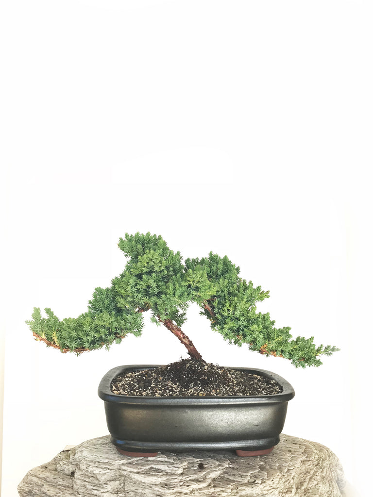 JAPANESE JUNIPER (JP1901332) - MiniGardens NZ