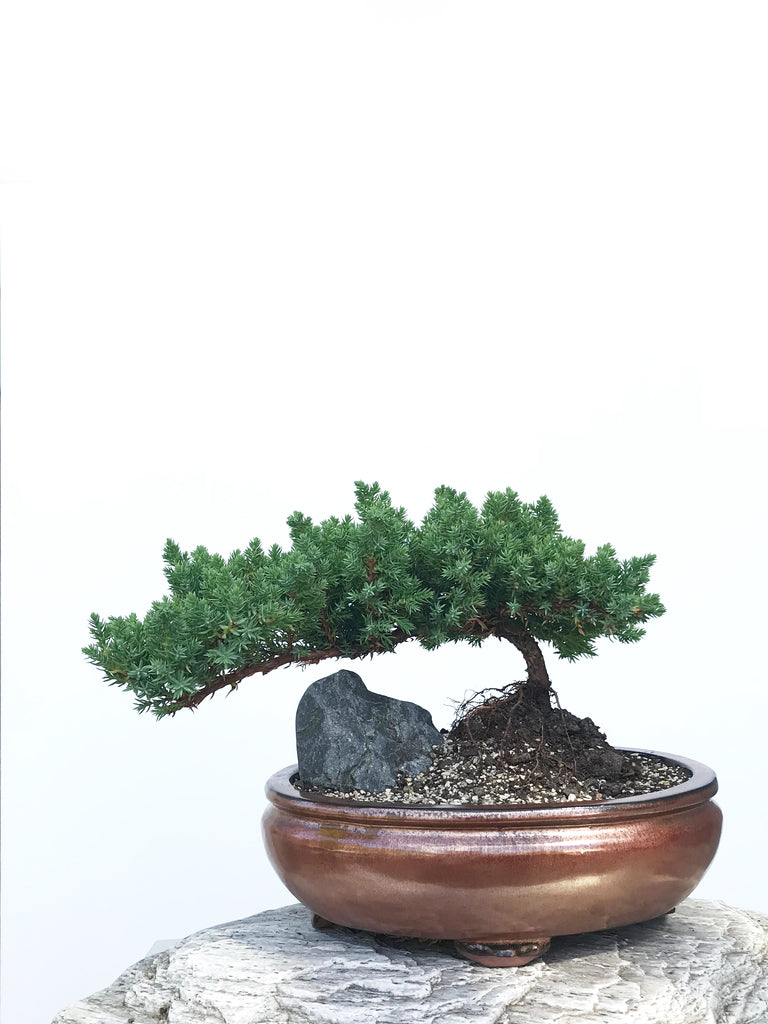 JAPANESE JUNIPER (JP1901347) - MiniGardens NZ