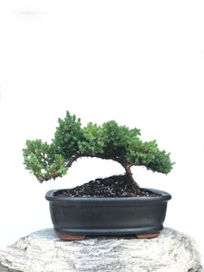 JAPANESE JUNIPER (JP1901350) - MiniGardens NZ