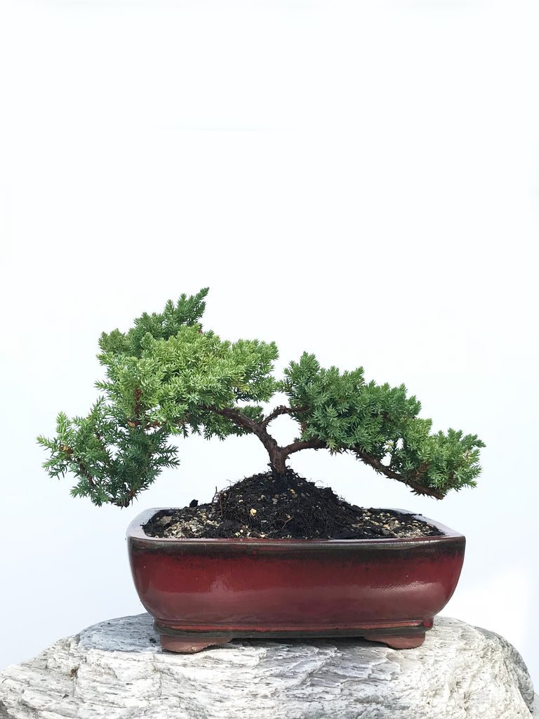 JAPANESE JUNIPER (JP1901355) - MiniGardens NZ