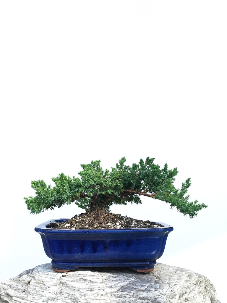 JAPANESE JUNIPER (JP1901359) - MiniGardens NZ