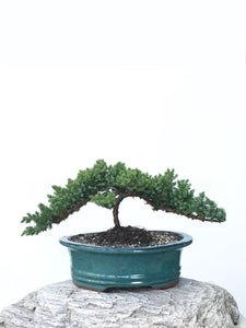 JAPANESE JUNIPER (JP1901362) - MiniGardens NZ