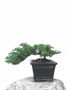 JAPANESE JUNIPER (JP1901364) - MiniGardens NZ