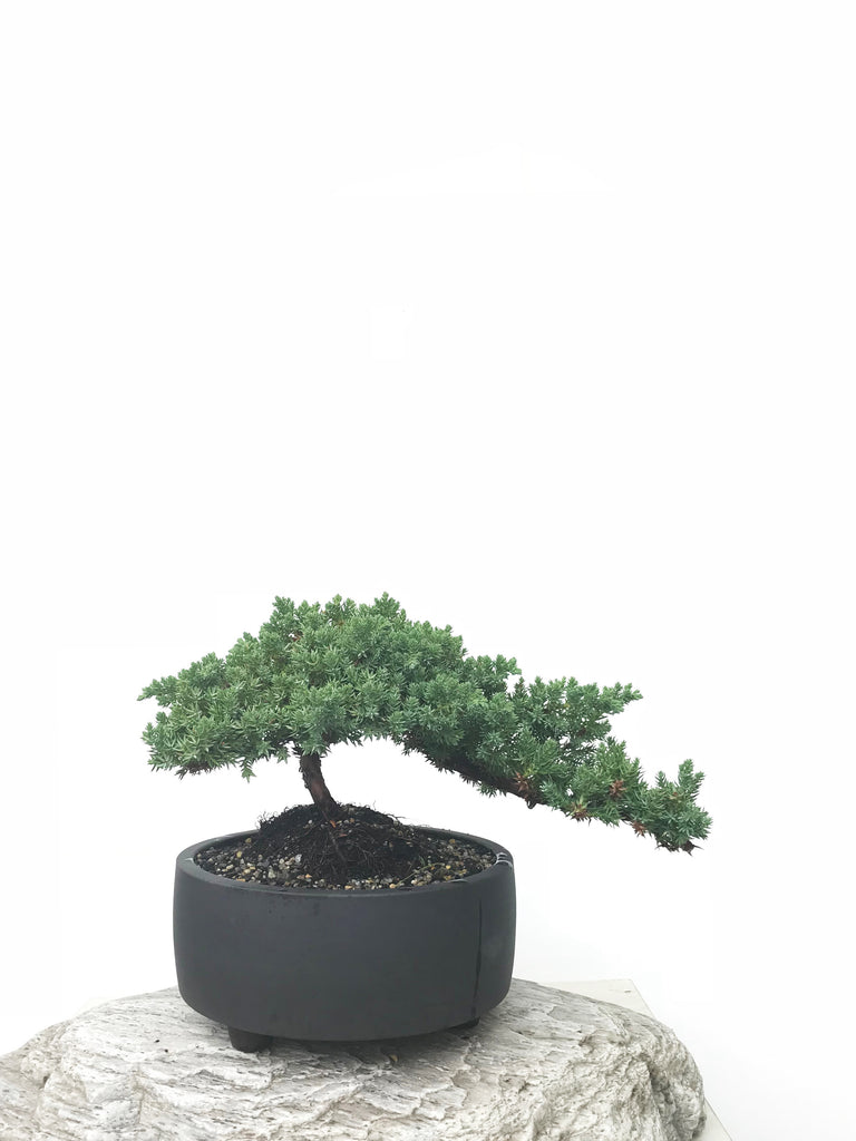 JAPANESE JUNIPER (JP1902367) - MiniGardens NZ