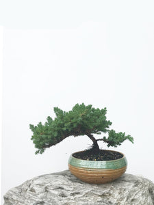 JAPANESE JUNIPER (JP1902373) - MiniGardens NZ