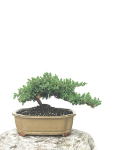 JAPANESE JUNIPER (JP1902380) - MiniGardens NZ