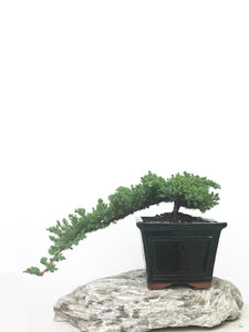 JAPANESE JUNIPER (JP1902384) - MiniGardens NZ